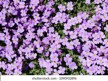 Blue Aubretia in Spring, Sea of Wonderful blue blossoms