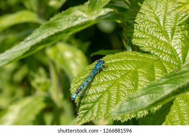 Blue azure mayfly. Iridescent blue shines out against the dark green foliage behind.