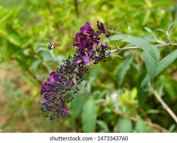 Blue Banded bee about to get some nectar from the butterfly bush