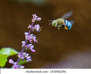 Blue banded bee (Amegilla cingulata) in flight - on its way to collect nectar from holy basil (Ocimum sanctum) flowers.