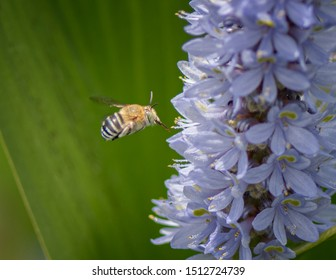 Blue banded bee (Amegilla cingulata) collecting nectar on Pontederia cordate (Pale Lavender)