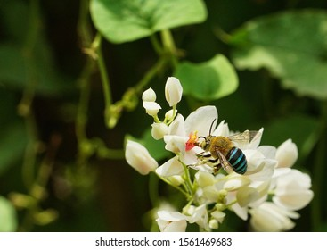 Blue banded bee or Amegilla cingulata on white Mexican Creeper Flower selective focus with blurry background, bokeh, grainy texture, grainy backgrounds