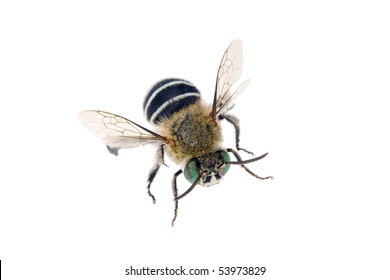 Blue banded Bee, Amegilla cingulata, Australian native bee, isolated on white, wingspan 17mm