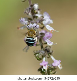 A blue Banded Bee buzzing around a perennial basil in Summer