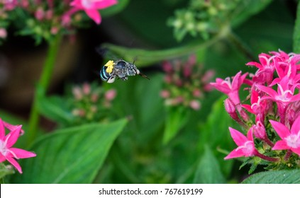 Blue banded bee carrying yellow pollinium - pollinating insect