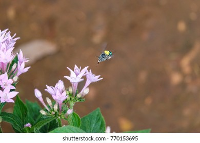 Blue banded bee carrying yellow pollinium - pollinating insect rare species