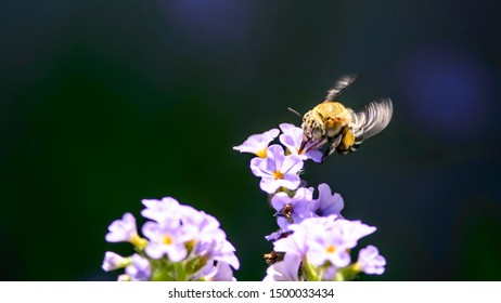 Blue Banded Bee drinking from flower