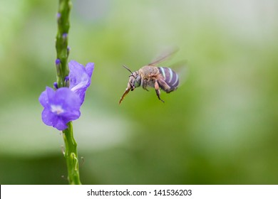 Blue Banded Bee flying to the flower