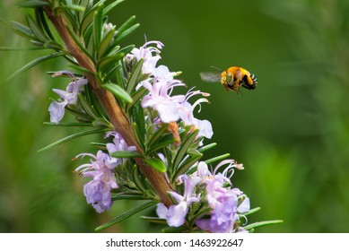 Blue Banded Bee pollinating a rosemary bush.