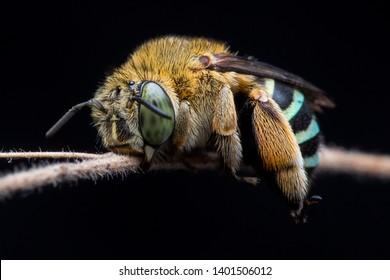 blue banded bee sleeping tight