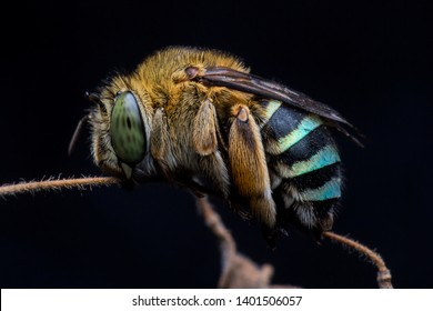 blue banded bee sleeping tight