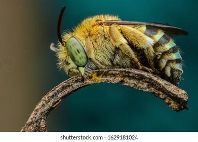 blue banded bee were sleeping