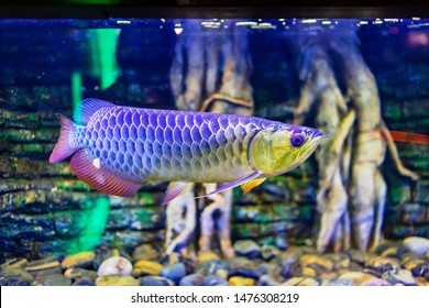 Blue Base Crossback Arowana Fish view in close up in an aquarium