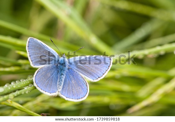 Blue beauty. A gossamer-winged butterfly stands out clearly from the surroundings due to the light blue wings.