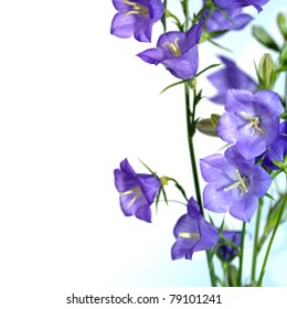 blue bell flower isolated on white background