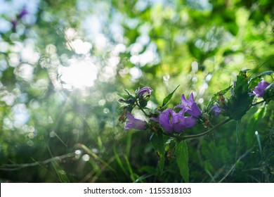 Blue Bell Flowers in the sun. Beautiful meadow field with wildflowers close up