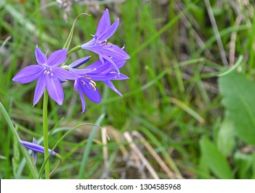 Blue bellflowers against blurred green meadow. Folk medicine: gynaecological diseases. Magic: prosperity & luck. Emblem of Dalarna County (Sweden). Closeup