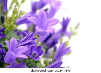 blue bellflowers (Campanula poscharskyana) on white isolated background.