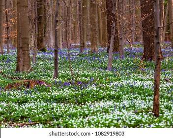 Blue bells flowers in Hallerbos, a beech forest in Belgium