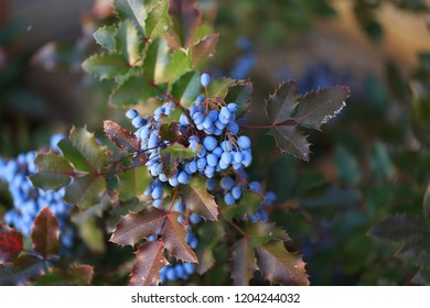 Blue berries and green leaves, bush of Mahonia aquifolium or Oregon Grape Holly, autumn landscape