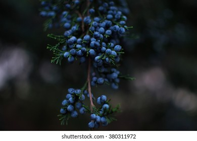 Blue berries of juniper in the park