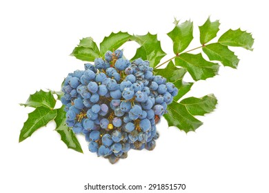 Blue berries of Oregon grape (Mahonia aquifolium) isolated on white background