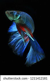 blue betta fish or cupang halfmoon