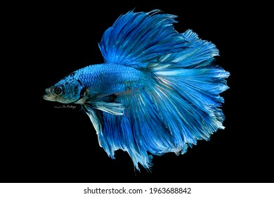 Blue betta fish, Siamese fighting fish, betta splendens (Halfmoon betta, Pla-kad (biting fish) isolated on black background.