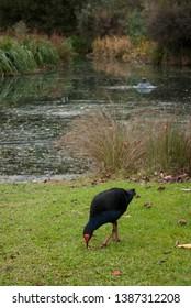 A blue bird called Pukeko in the botanical gardens in Melbourne in Australia