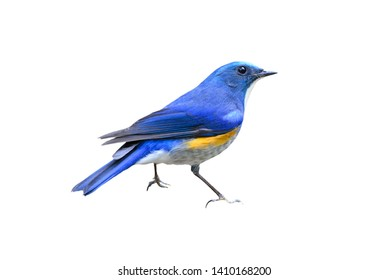 Blue bird,  Himalayan Bluetail (Tarsiger rufilatus) on white background
