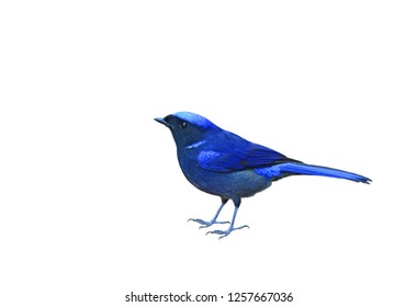 Blue bird Large forest flycatcher bird  feather have dark blue color Niltava (Niltava grandis), perched on branch tree isolated over white background