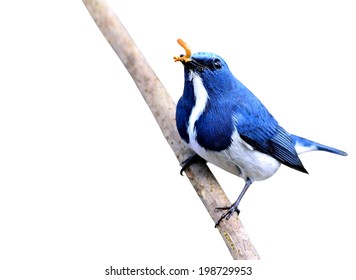 Blue bird, male of ultramarine flycatcher carrying worm food in bills isolated on white background