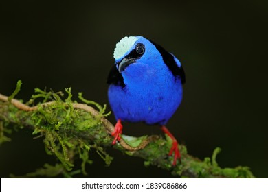 Blue bird Red-legged Honeycreeper, Cyanerpes cyaneus, exotic tropical animal with red legs from Costa Rica. Tinny songbird in the nature habitat. Tanager birdwatching in South America.