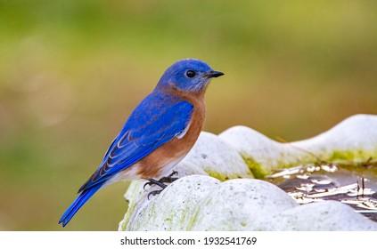 Blue Bird resting itself on bird bath