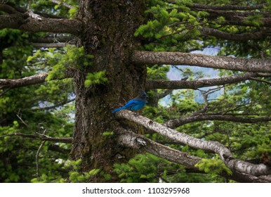 Blue Bird in Tree