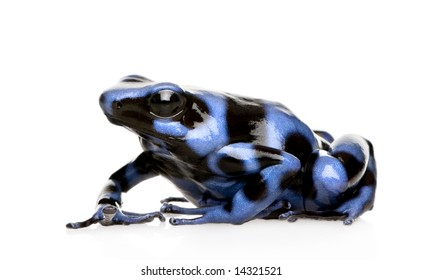 blue and Black Poison Dart Frog - Dendrobates auratus in front of a white background