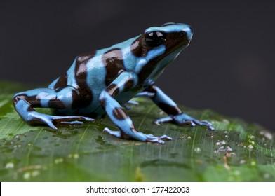 Blue and black poison dart frog / Dendrobates auratus