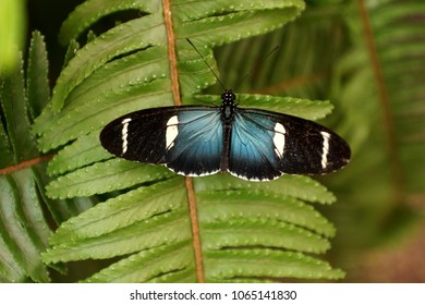 Blue and black winged butterfly on a fern leaf in a garden in Mindo, Ecuador