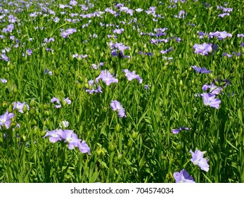 Blue Blooming Flax