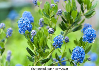 Blue Blossom of Ceanothus Concha in spring garden. California Mountain Lilac  or Ceanothus Concha is one of the oldest Ceanothus hybrids. Selective focus
