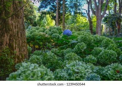 Blue blossom of a Hortensia (Hydrangea) in the middle of many Green Hortensia, Epic Photo, Terra Nostra Garden, Furnas, Sao Miguel, Azores, Portugal