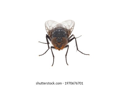 Blue blowfly isolated on white background, Calliphora vicina