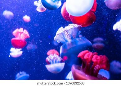 Blue Blubber Catostylus mosaicus . Multi-colored jellyfish.