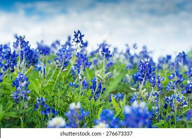 Blue Bonnet Flowers in a field. Focused on two stems