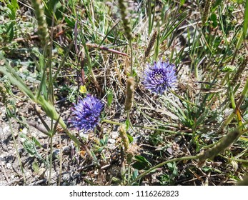 Blue bonnets or buttons and iron flower, Jasione montana, growing in Galicia, Spain