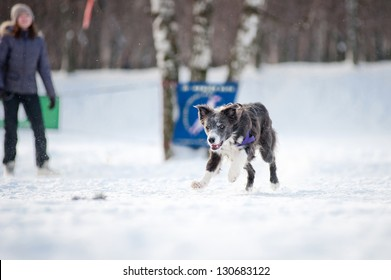 Blue Border collie dog running fast to catch a toy in winter