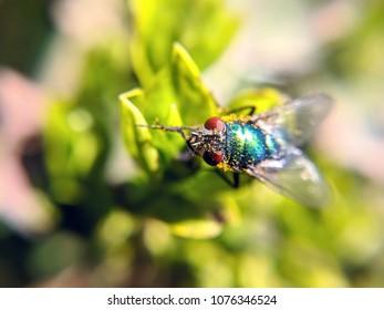 blue bottle fly on green leaves