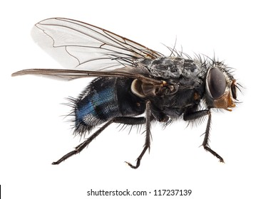 blue bottle fly species calliphora vomitoria isolated on white background