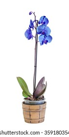 Blue branch orchid  flowers, Orchidaceae, Phalaenopsis known as the Moth Orchid, abbreviated Phal. Brown vase. White background.