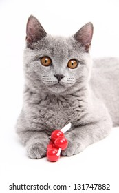 Blue british cat playing with a toy